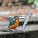 Kingfisher 1903171345.jpg