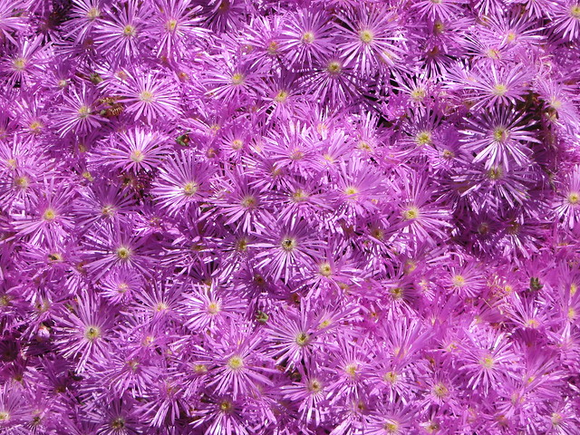 Purple asters, Canon POWERSHOT A470