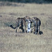 Successful hunt, cheetahs with Thomson's gazelle kid, Piaya Serengeti Tanzania