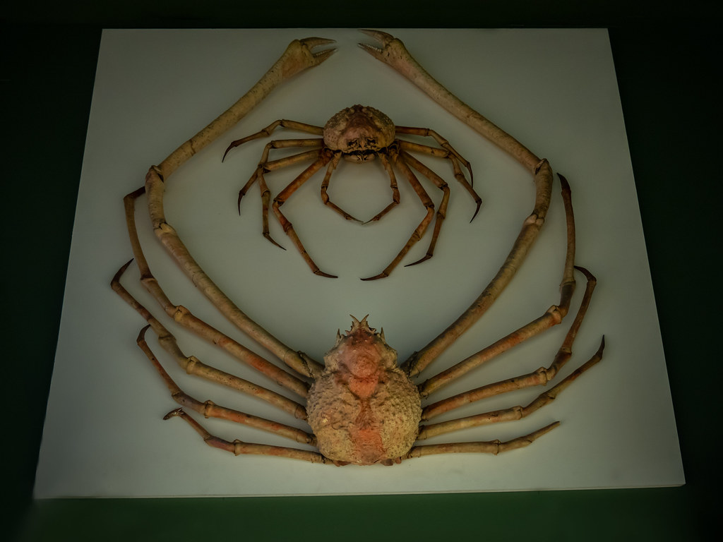 Le crabe géant du Japon... 47086320422_8a2ddb4288_b
