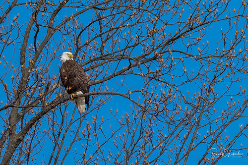 Bald Eagles of New Jersey | 2019 - 9
