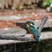 Kingfisher 1903171282.jpg