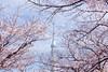 Photo:Tokyo Sky Tree By t.kunikuni