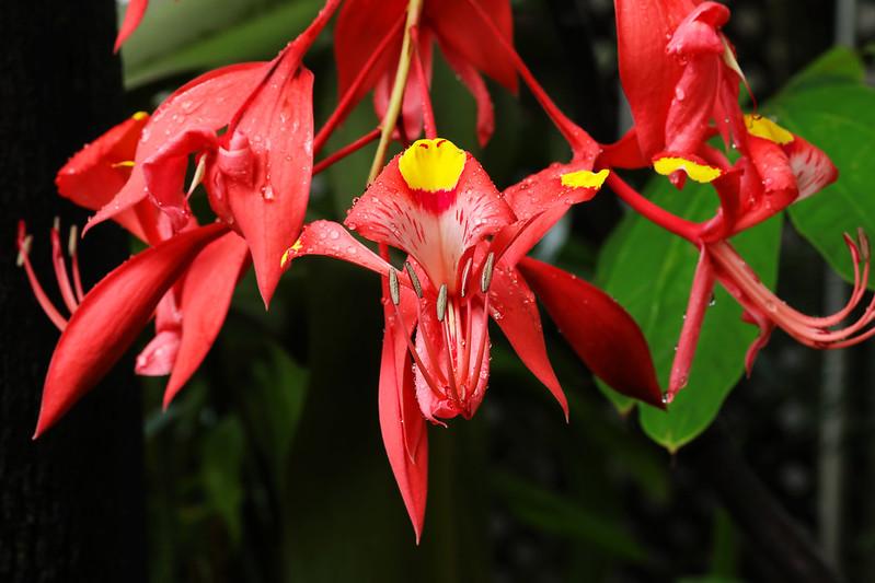 Amherstia nobilis  ヨウラクボク