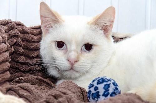 Corinto, gatito siamés Red Point muy guapo, esterilizado tímido y bueno nacido en Octubre´18, en adopción. Valencia. 33274921388_2917f52c3e