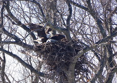 Eagle_nest_construction_4
