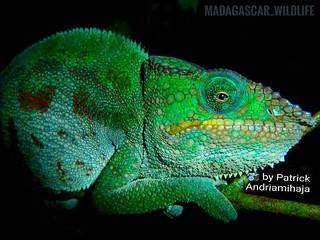 Panther chameleon (Furcifer pardalis) - FB_IMG_1532011917038-01