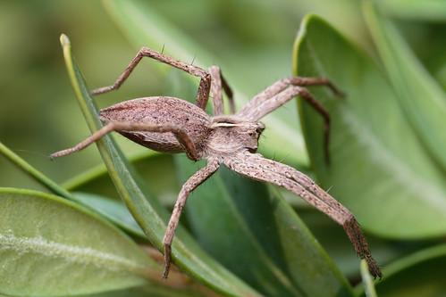IMG_7924 Nursery-web spider on box