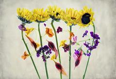 sunflower1-texture