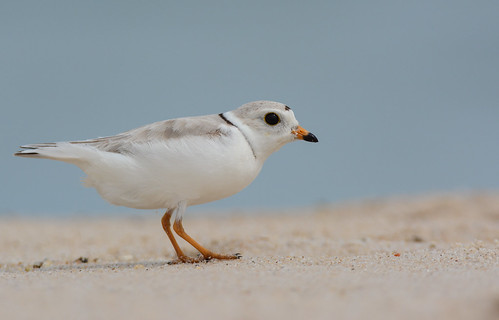 birds nikon nikond7100 tamronsp150600mmf563divc jdawildlife johnny portrait closeup eyecontact coopersbeachliny plovers ploverpiping pipingplover gorgeous wow