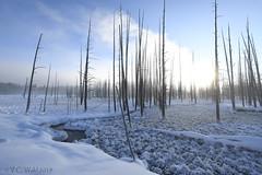 """Bobby socks"" trees at Tangled Creek"
