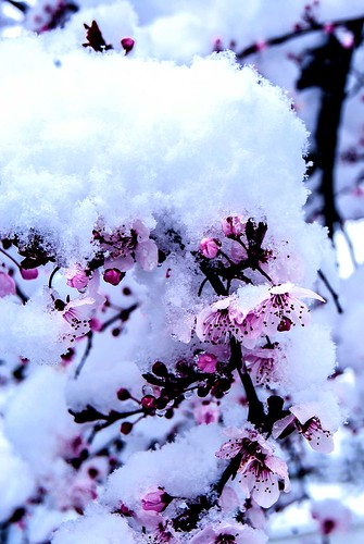 Fleurs de prunus sous la neige