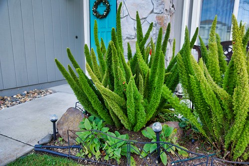 2019-02-23 - Nature Photography - Plants - Asparagus Foxtail Fern, Part 2