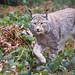 Lynx walking through the undergrowth