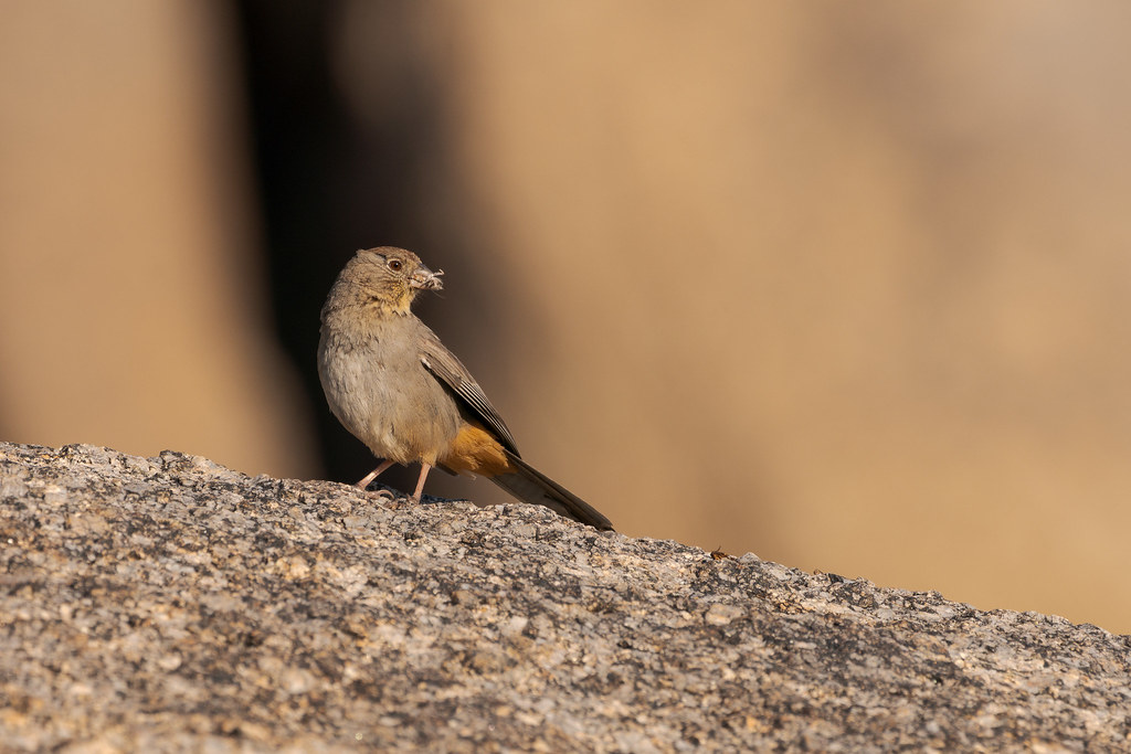 A canyon towhee with a mouthful of bugs perches on a large rock beside the Marcus Landslide Trail in McDowell Sonoran Preserve in Scottsdale, Arizona