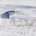 Harfang des neiges /Snowy Owl by gérarddion
