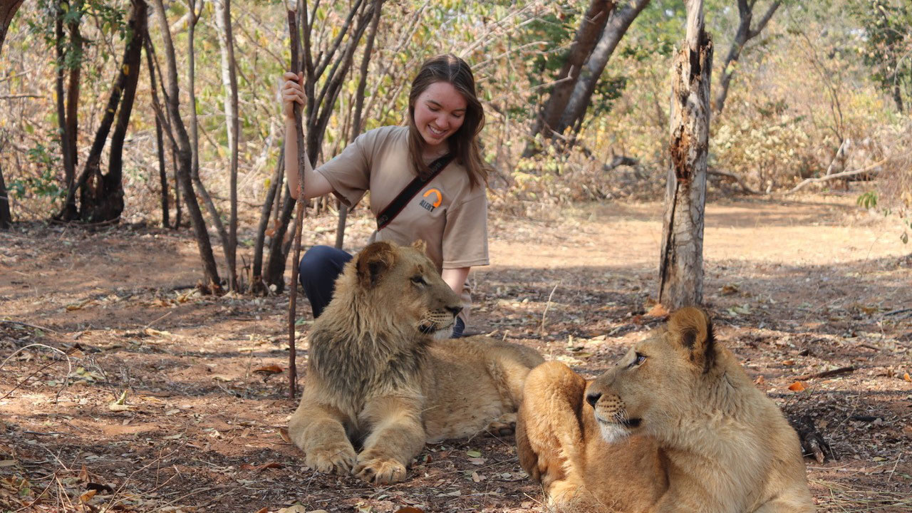 Helen Mylne with Lions on placement at the African Lion and Environmental Trust in Zimbabwe