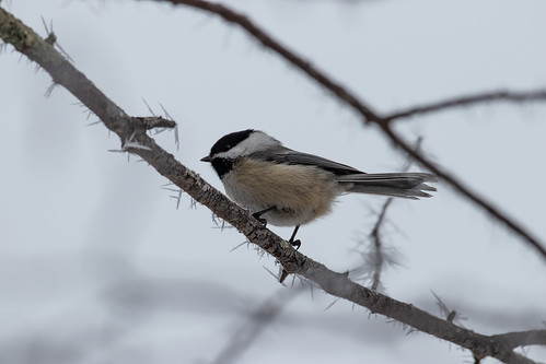 Chickadee on frosty branch