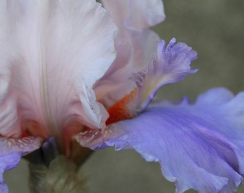 Iris - floraisons 2011 - Page 3 47197007771_4f3a5630ed