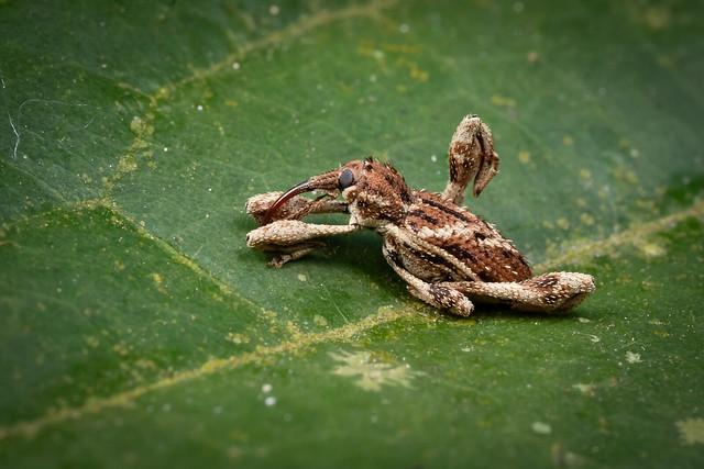 Curculionidae B