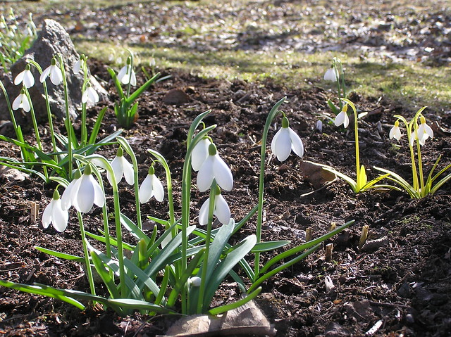 Galanthus Bed