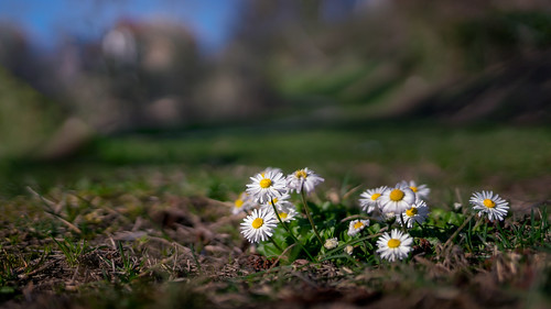 Spring daisies | SONY ⍺7RII & Canon EF35/2 IS