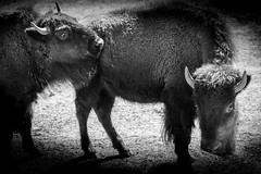 Bison Pair at Play