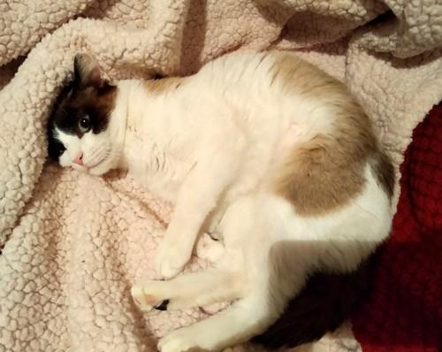 Dora, gata cruce Snowshoe dulce y habladora esterilizada, nacida en Marzo´18, en adopción. Valencia. 32284772807_998d09df46