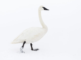 Trumpeter Swan no. 1, Chester, ID 2019