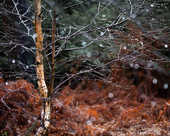 Birch lights
