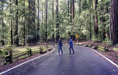 Abbey Road in the California redwoods