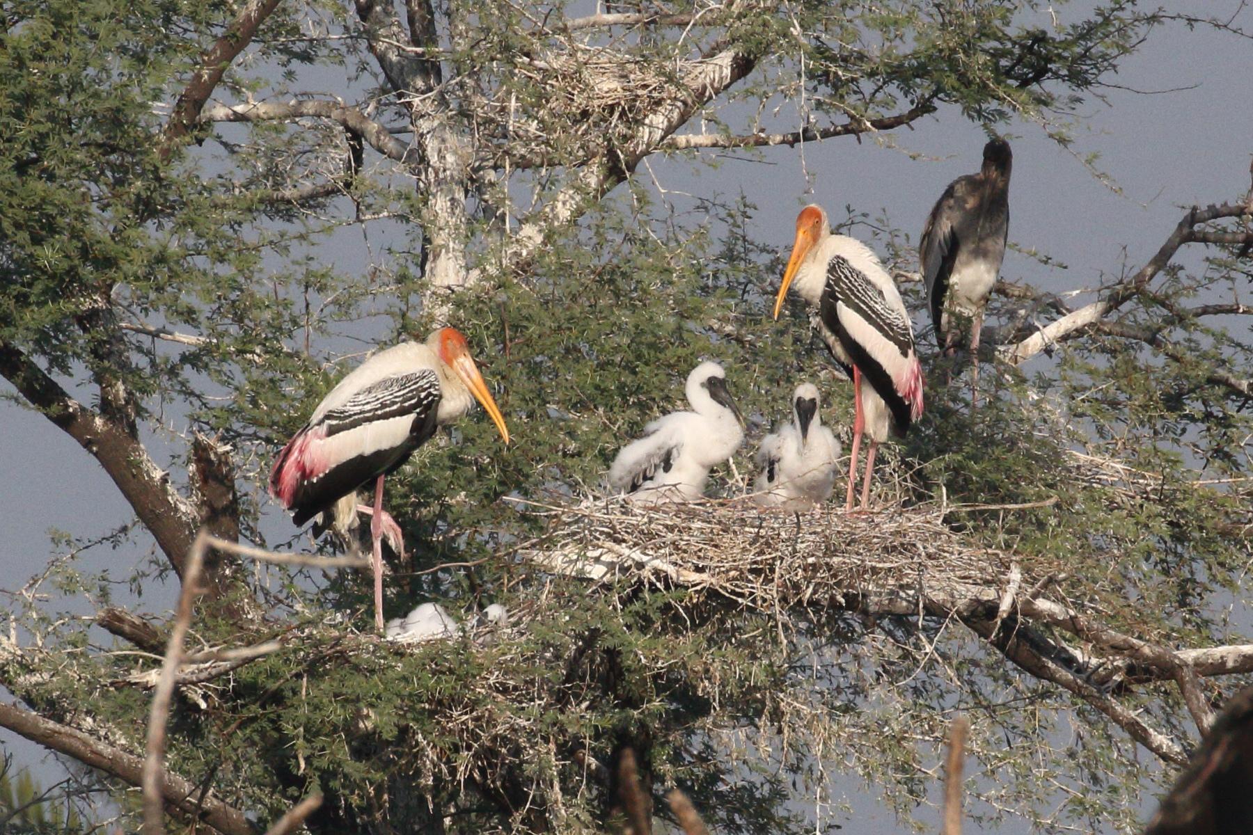 Down nestlings of Painted Stork