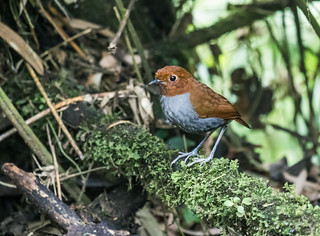 Bicolored Antpitta | by nickathanas
