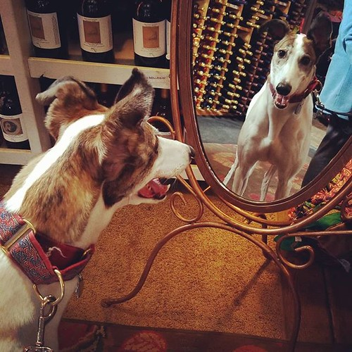 Who is THAT dee-oh-gee?! #Cane #dogsofinstagram #greyhound #greyhoundsofinstagram #mirror