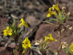 skunky monkeyflower, Diplacus mephiticus
