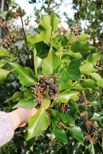 Gathering ivy
