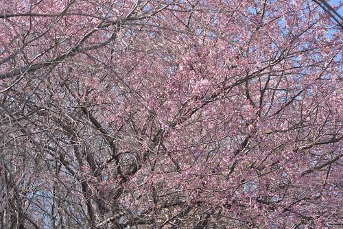DSC_1027 春めき桜