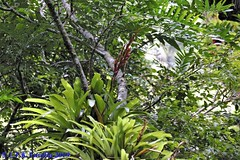 Vriesea brusquensis no habitat