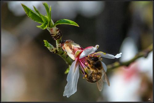 Flor de Almendro, abeja alcarreña