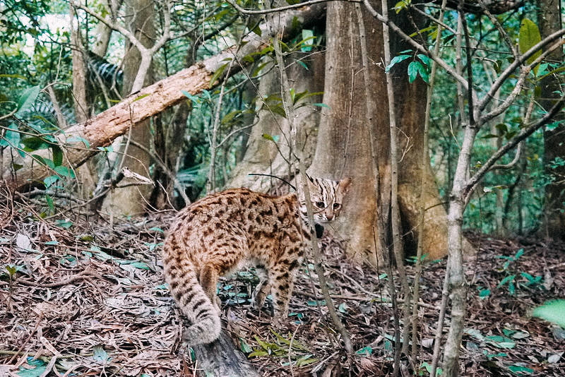 石虎是目前僅存的台灣本土貓科動物。資料照片,陳美汀拍攝/提供。