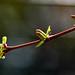 Harlekinweider - Salix integra 2856 by Peter Goll thx for +11.000.000 views