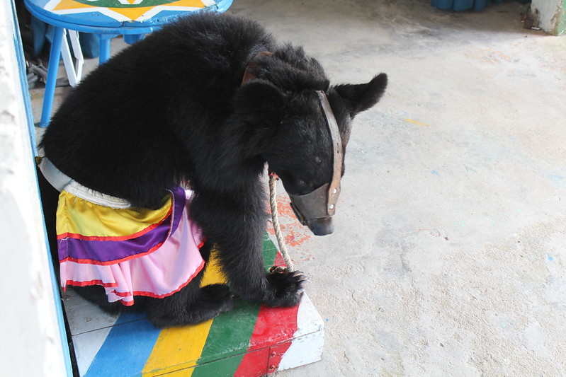 chained bear sits and waits during show