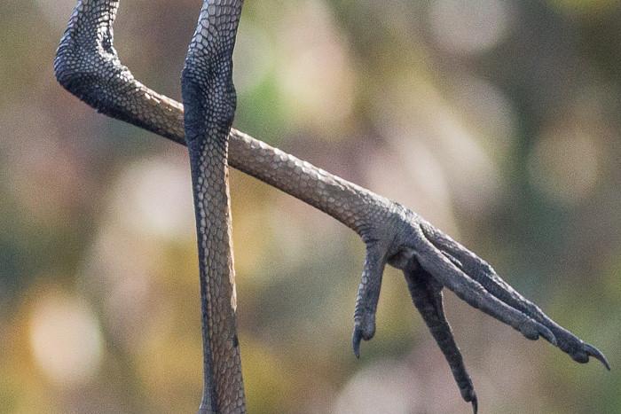 Yellow-billed Spoonbill