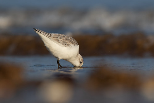 Sanderling (Calidris alba) | by Wildlife Photography by Matt Latham
