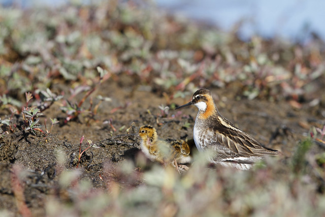 Male red-necked phalarope taking care of or protecting a young chick