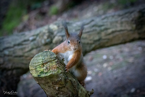 🇬🇧 Red squirrel posing (Explored 24/02/19)