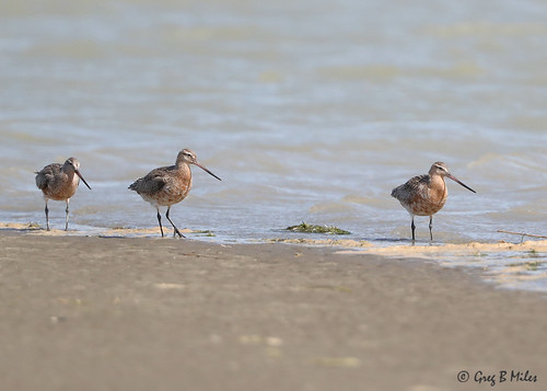 Bar-tailed Godwits (Limosa lapponica)