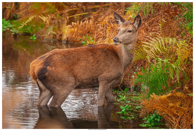 Red Deer Hind, Canon EOS 5D MARK II, Sigma 150-600mm f/5-6.3 DG OS HSM | C