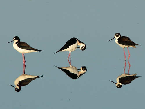 Black-necked Stilts 011-20190401