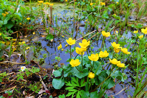 wet meadow and spring flowers -